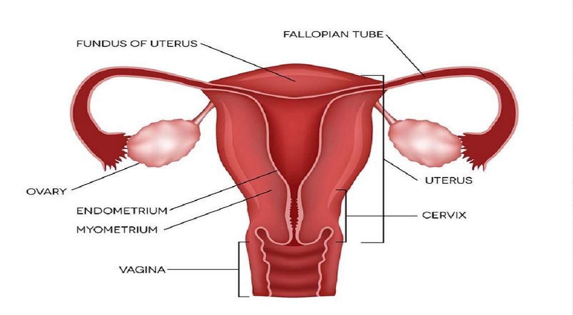 Fallopian tube and its function